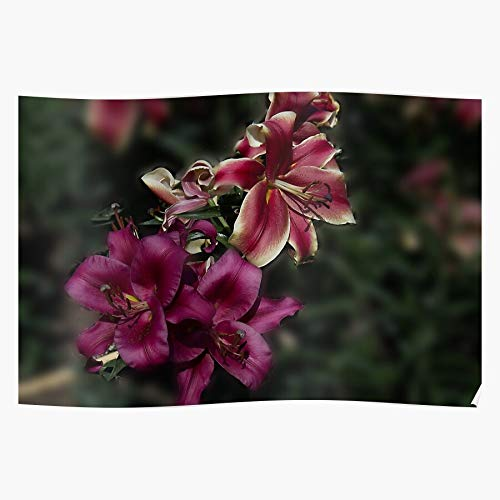 Lancave9s Lady Pink Fragrant Lily Orienpet African Carbonero Red The most impressive and stylish indoor decoration poster available trending now