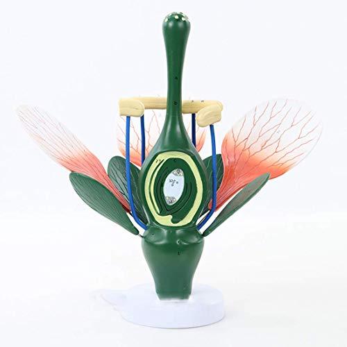 WEHOLY Bildungsmodell 6-Fach vergrößern Das Pfirsichmodell zeigt die typische Struktur des Dikotyledons - Staubblätter und Stempel für grüne Pflanzen