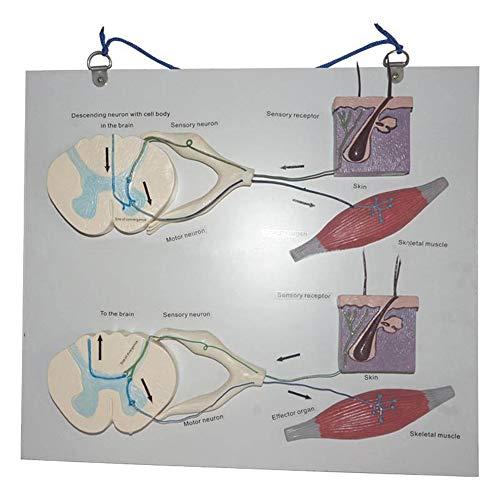 LUCKFY Información y Reflexión Recorrido del nervio Modelo Médico Arco Reflejo Reflejo condicionado Central de conducción nerviosa del nervio anatomía Modelo
