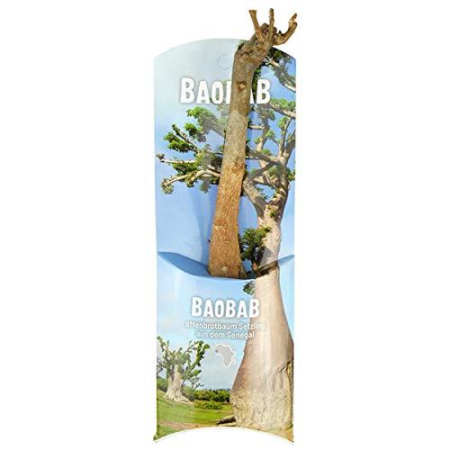 Baobab-Baum (Affenbrotbaum), ca. 18 Monate alt, 17cm hoch