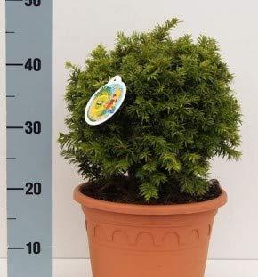Kugelschnitt Goldeibe Golden Nugget 25-30cm - Taxus baccata