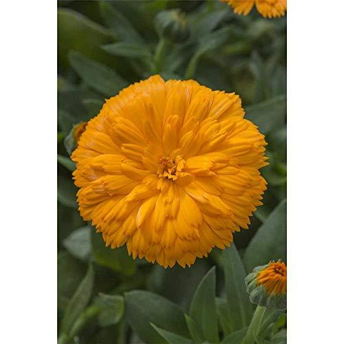 Calendula 'Powerdaisy', orange, Ringelblume - im Topf 12 cm, in Gärtnerqualität von Blumen Eber - 12 cm