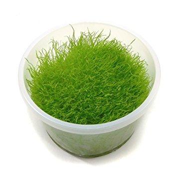 Kleiner fleischfressender Wasserschlauch / Utricularia graminifolia - In-Vitro
