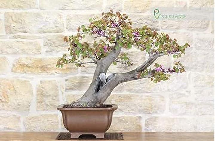 Bonsai albero di giuda pollice verde bonsai di cercis - albero di giuda (49) B091N5S1LC