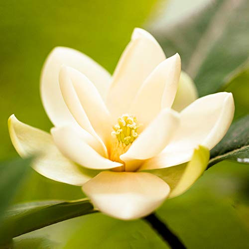Magnolia Fairy Cream Hardy Bushy Evergreen Outdoor Potted Flowering Garden Shrub (20-30cm (Incl. Pot))