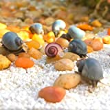 Three (3) Live Mystery Snails Pomacea bridgesii Large Size W/ Free Calcium for Snail Snail and...
