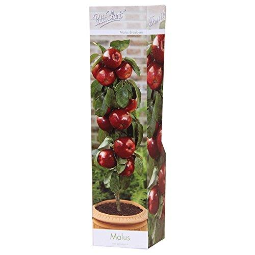 Blumen-Senf Säulen-Apfelbaum Malus Braeburn
