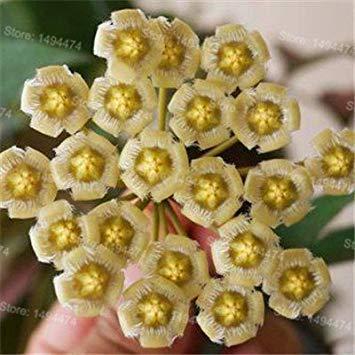 Vistaric Graines de hoya rares, couleurs mélangées Graines de fleurs Graines de fleurs d'orchidée 200pcs / pack