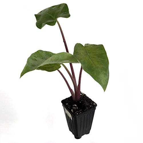 Imperial Red Elephant Ear Live Plant - Alocasia