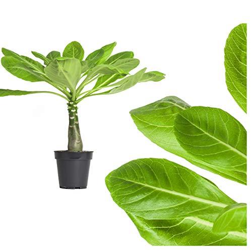 1x echte Hawaii Palme - ca. 45cm gross - brighamia insignis Vulkanpalme/blühende Zimmerpflanze Hawaiipalme endemisch aus Hawaii - sehr exotisch, immergrün