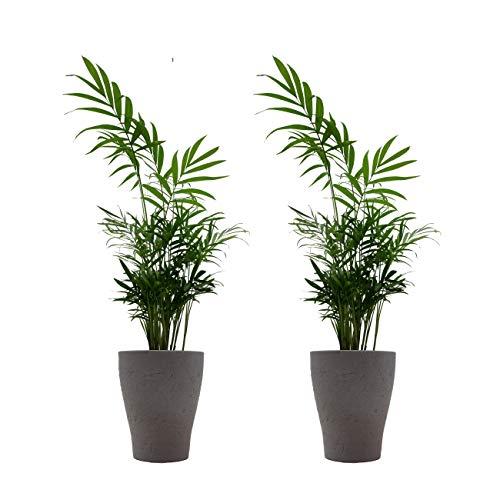 Zimmerpalmen-Duo mit Keramik-Blumentopf