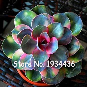 prime vista Große Förderung !!!100 Stücke Kaktus Rebutia Vielzahl Blühende Farbe Kakteen Seltene Kaktus Samen Büro Mini Pflanze Sukkulenten Bonsai Samen 6