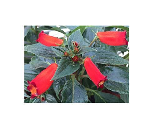 Stk - 1x Gloxinia speciosa Blüte rot Orchidee Pflanze OW85 - Seeds Plants Shop Samenbank Pfullingen Patrik Ipsa