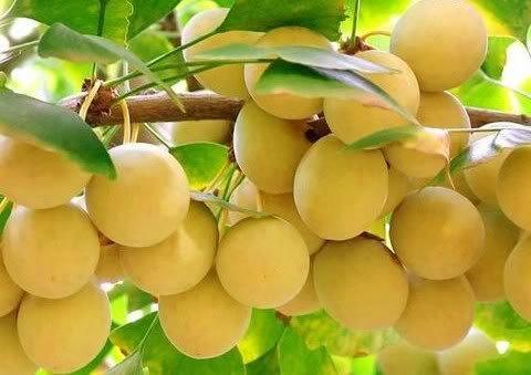 SD0520 Ginkgo Biloba Fruit Seeds, Rare Gingko Seeds, Ginkgo Seeds, Non-Genetically Modified Seeds (3 Seeds)