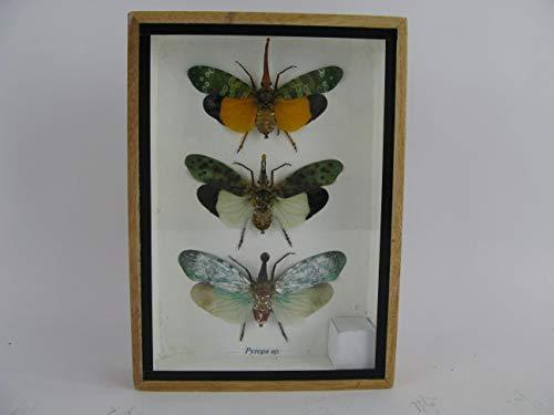 asiahouse24 3X Zanna nobilis - echte riesige und exotische Insekten im 3D Schaukasten, Bilderrahmen aus Holz - gerahmt - Taxidermy -Abbildung ähnlich