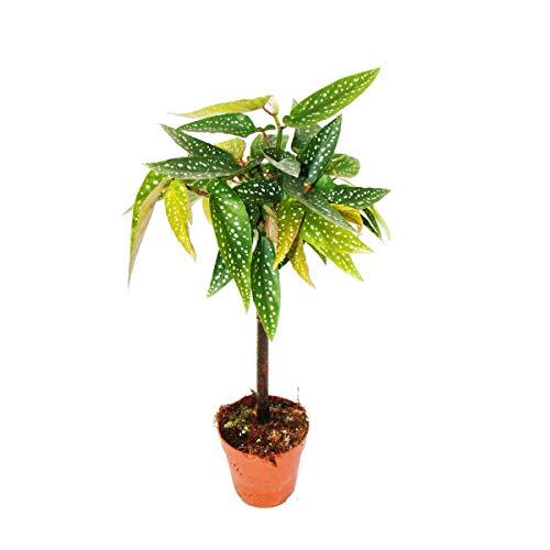 Exotenherz - Tamaya-Begonie - Begonia albopicta - Begonien-Stämmchen - 9cm Topf