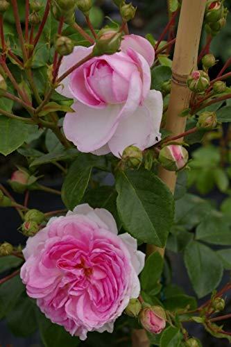 Kletterrose Jasmina® - Rosa Jasmina® - violett-rosa - Duft++ - Kordes-Rose - ADR-Rose