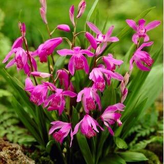 5 X Bletilla Striata - Bletilla Orchidea - Bulbi Di Alta Qualità (5)