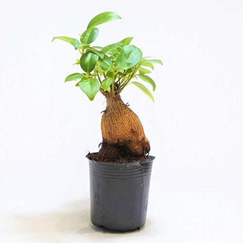 コケのインテリア コケリウム テラリウム 山野草 苔盆栽 苔玉 ガジュマル 朴物