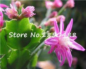 100 pièces / lot de semences Schlumbergera, cactus de crabe, plantation en pot, les saisons de plantation, plantes à fleurs