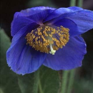 50 Seeds Meconopsis Grandis Blue Poppy #MRB01