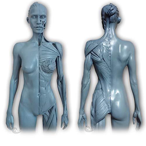 Female Anatomy Figure - 30Cm menschliches anatomisches Modell-Körper-Muskel-Skelett-Anatomie Malerei Skulptur - 1: 6 Human Modell Größe - für Medical Artist Drawing Study