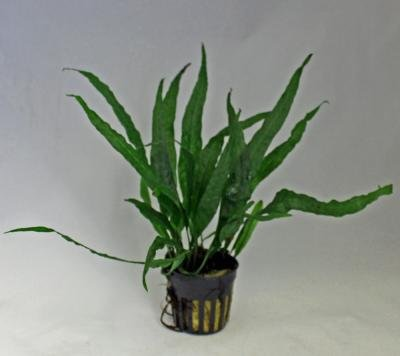 送料安 ミクロソリウム・ソードリーフ 3株 ◆葉が剣のようなミクロソリウム◆ イイ水草市場