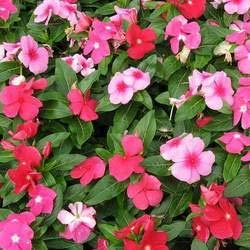 100 pcs/sac à double pétales graines de pétunia graines de fleurs bonsaï fleurs court jardin hauteur des graines de pot de plante d'intérieur ou ourdoor 1