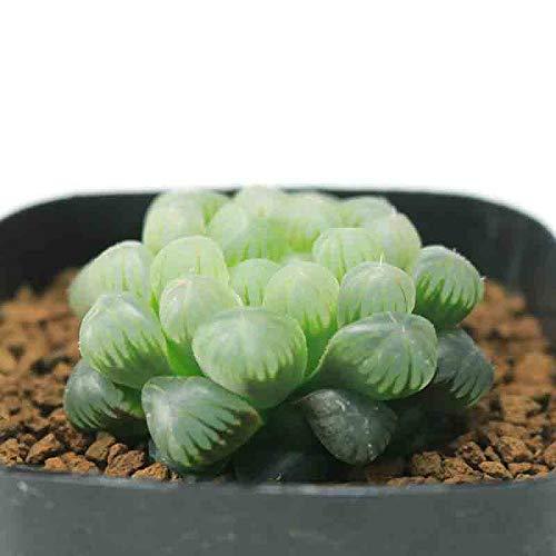 多肉植物 ハオルチア オブツーサ トゥルンカータ MBB386 7.5cmポット A1
