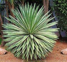 Agave angustifolia panaché exotique Graine Succulent Cactus plantes rares 100 graines