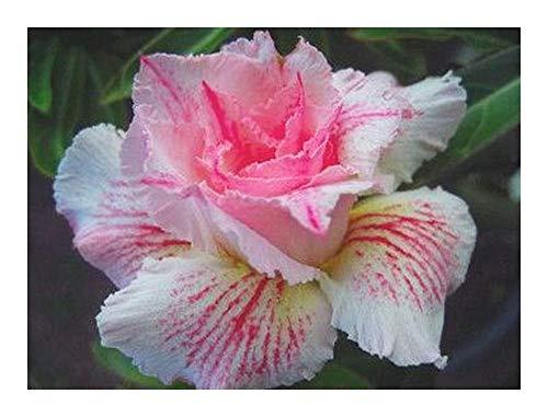 Adenium obesum Curly Lace - Rose du Désert - Faux baobab Sugared Lilac - 3 graines