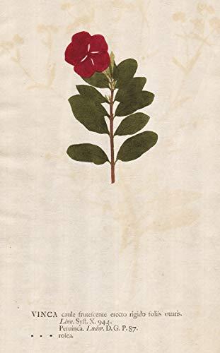 Vinca caule frutescente erecto rigido foliis ouatis - Catharanthus roseus bright eyes Cape periwinkle Madagascar flower flower Pflanze plant Blume Botanik botany botanical