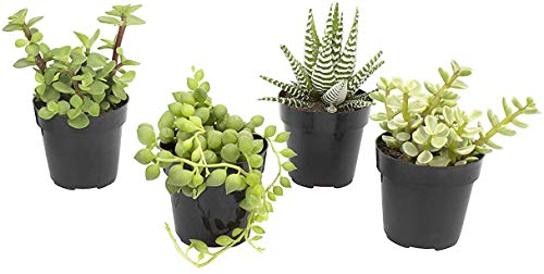 Altman Plants Assorted Live Succulents Desk Buddy Collection Easy care plants for Indoor, Office, Kitchen, 2.5, 4 Pack