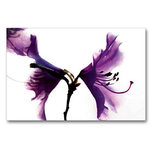 Premium Textil-Leinwand 90 x 60 cm Quer-Format Rhododendron 'Praecox'   Wandbild, HD-Bild auf Keilrahmen, Fertigbild auf hochwertigem Vlies, Leinwanddruck von Erwin Renken