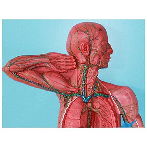 Modelo anatómico de órganos linfoides