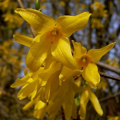 Müllers Grüner Garten Shop Forsythie Spectabilis Goldglöckchen leuchtend gelbe Blüten Strauch mit 60-80 cm 3 Liter Topf