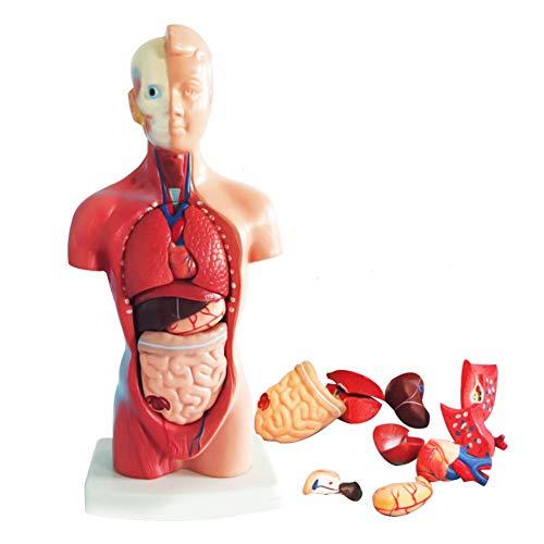 Scucs 4D Körpermodell - Menschliches Körpermodell, Anatomie Torso, Viszerales Anatomisk, Medizinisches Modell für den Unterricht in der Schule