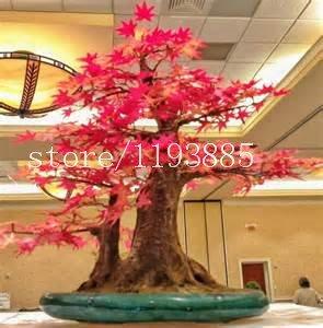 50pcs graines d'érable rouge, érable graines d'arbres semences d'arbres bonsaï graines de fleurs de haute 60cm 100% de germination plante en pot pour la maison jardin
