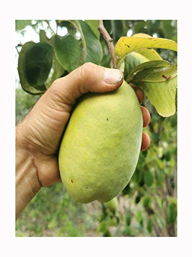 Chinese Quince, Pseudocydonia sinensis, Hardy Fruit Shrub, Rarely Offered, Great for UK Climate, 20-25cm Plant in an 8cm Pot