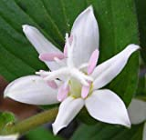 50pcs Tricyrtis Japanese Toad Lily Shade Perennial Deer Resistant Flower Seeds for Planting Outdoors Gumse11