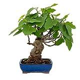Bonsái Ficus carica 12 años HIGUERA