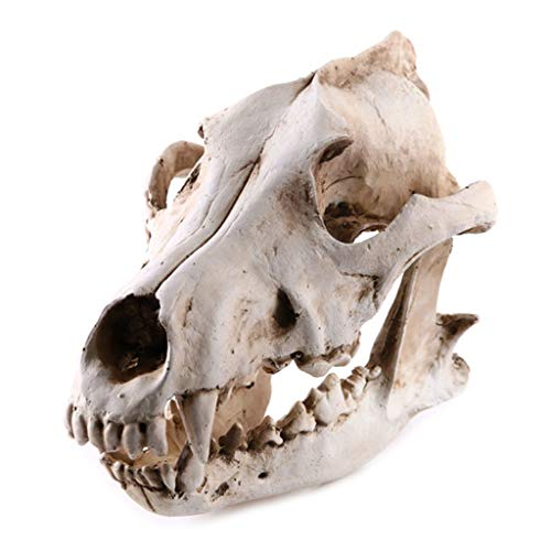 VIccoo Jackal Model, Resin Animal Jackal Coyote Wolf Skeleton Model Leren Tool Aquarium Decoratie benodigdheden