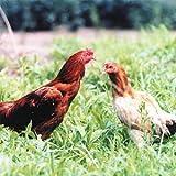 国産 茨城県産 地鶏 奥久慈しゃも 正肉セット 約1kg