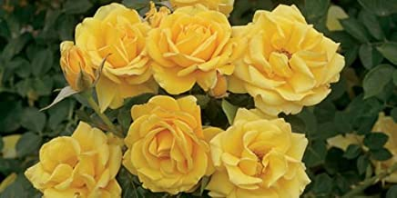 yellow rose of texas bush
