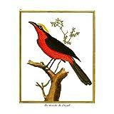 Wee Blue Coo LTD Bird Pie Grieche Du Senegal Shrike Art
