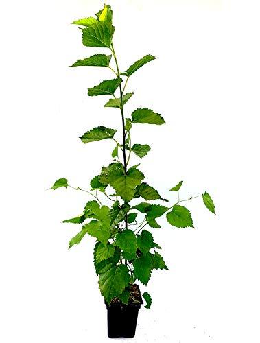 Seedeo® Schwarzer Maulbeerbaum (Morus nigra) ca. 30 cm - 40 cm