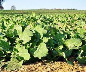 Ölrettich Bodenkur von bobby-seeds, einjährige Gründüngung 500 Gramm