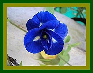40 Seed Blue Butterfly Pea Seeds CLITORIA TERNATEA Vine Flower