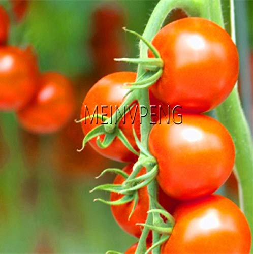 Pinkdose Meistverkauft!Sorte Kirschtomaten Bonsai Balkon Obstpflanzen Gemüse Topf Bonsai Topfpflanze Tomatenpflanzen, 100SEED: 8