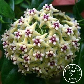 Clearance Sale - Fuchsia Ball Orchid Bonsai Hoya Carnosa Plantas Potted Flower Garden Plants 100 Pcs/Pack,#ucyk8y(Seed) - by Abuldahi